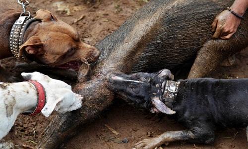 Những cuộc tử chiến giữa chó và lợn rừng ở Indonesia