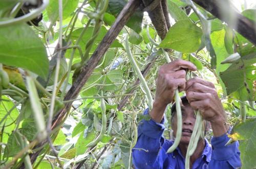 Giá đậu cô ve chỉ còn 1.000 đồng/kg khiến nông dân để tráigià ngoài đồng. Ảnh: Phạm Linh.