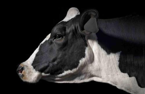 Vence là thiết bị chăn bò gắn trên tai từng con trong đàn, giúp tiết kiệm nhân lực và chi phí.