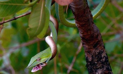 Mải giao chiến, rắn sãi kẹt đầu trong miệng rắn roi