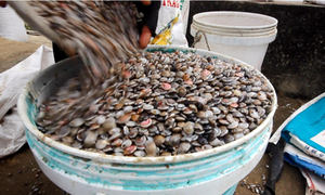 Ngư dân Quảng Nam trúng ốc gạo đầu năm