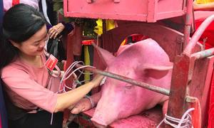 Bốn tháng nuôi lợn chuẩn bị cho lễ hội của làng Ném Thượng