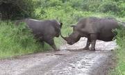 Tê giác kịch chiến bảo vệ lãnh thổ