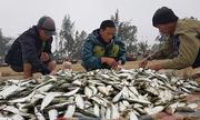 Ngư dân Sầm Sơn kiếm tiền triệu mỗi ngày nhờ trúng mùa cá trích