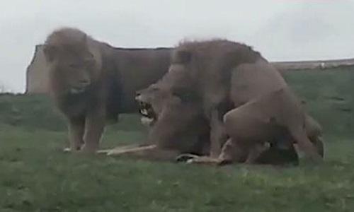 Ba con sư tử đực có hành vi thân mật giống như đang giao phối. Ảnh: Sun.