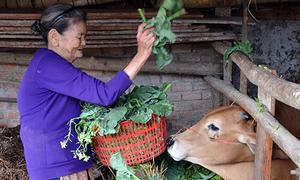 Rau ế, nông dân Quảng Ngãi cắt bỏ cho bò ăn