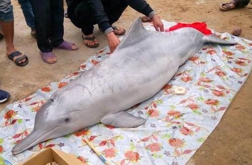 Xác con cá voi dạo bào biển xã Nghi Yên (huyện Nghi Lộc) trưa 25/2. Ảnh: Người dân cung cấp.
