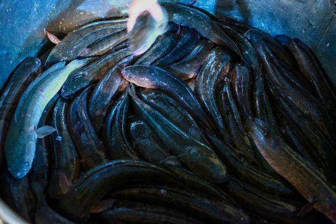 300 tấn cá lóc miền Tây được nhập về TP HCM ngày vía Thần Tài