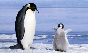 Trung Quốc nghiên cứu thực địa chim cánh cụt ở Nam Cực