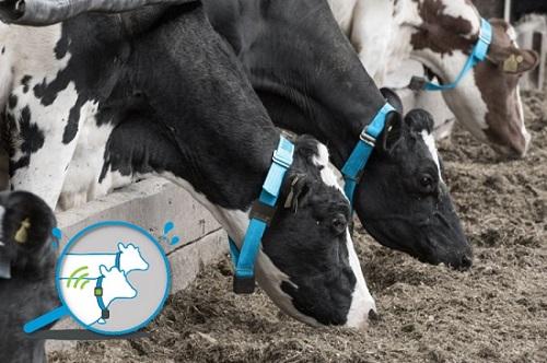 Những chiếc vòng đeo cổ giúp người nông dẫn giám sát được những thay đổi về sức khỏe của chúng. Ảnh: Afimilk
