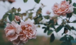 Hơn 1.600 cây hồng Bulgaria nhập về Hà Nội cho lễ hội 8/3