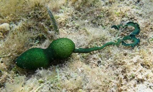 Giun Bonellia viridis chuyên sống dưới đáy biển. Ảnh: Quora.