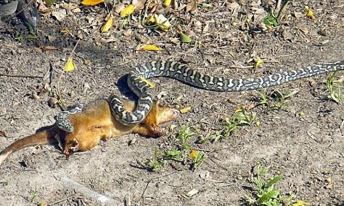 Con trăn lớn ăn thịt thú có túi sau khi siết chết con mồi.