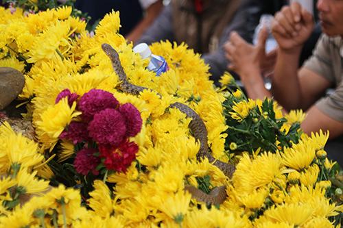 Người dân cho hay con rắn xuất hiện ở ngôi mộ là loài rắn nước. Ảnh: Hoàng Táo