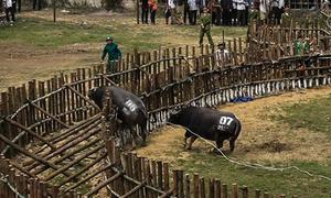 Trâu chọi phá rào trong lễ hội ở Vĩnh Phúc