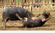 Ba triệu đồng một kg thịt trâu vô địch trong lễ hội ở Vĩnh Phúc