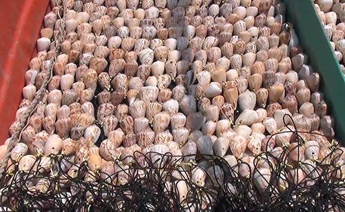 Các tên trộm dùng móc sắt và mỏ neo rà xuống đáy biển kéo lấy lưới vỏ ốc dùng để bẫy mực của ngư dân. Ảnh: Lan Vy