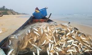 Cá trích mắc đầy lưới ngư dân Huế
