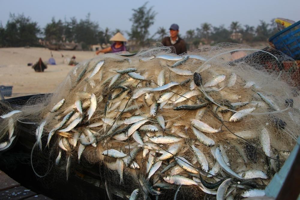 Sau ba năm, ngư dân Huế mới trúng lộc biển cá trích