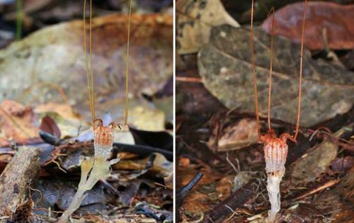 Nhóm nghiên cứu từ Czech tìm thấy câyThismia neptunis ở Malaysia. Ảnh:Sochor et al.