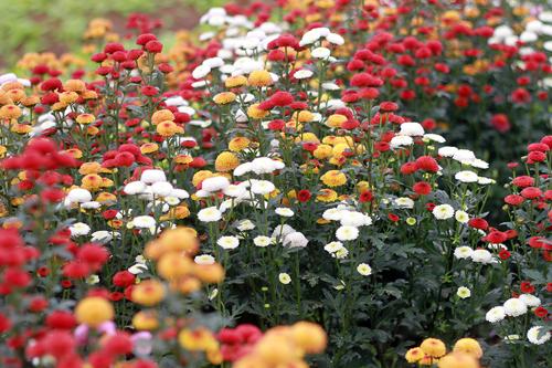 Cúc 6 màu có nguồn gốc từ Đà Lạt đang được ưa chuộng. Ảnh: Nguyễn Nga.