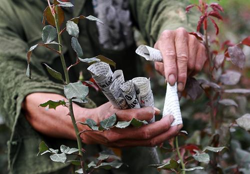 Nông dân chụp giấy báo vào nụ để hãm hoa nở sớm. Ảnh: Nguyễn Nga.