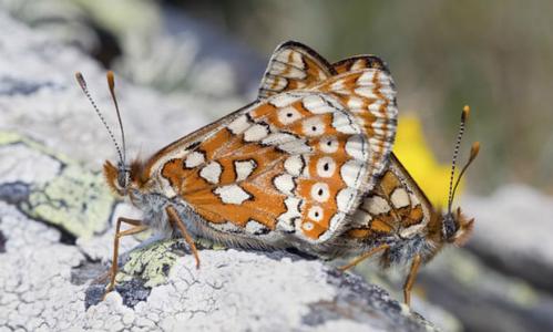 Loài bướm Marsh Fritillary sắp tuyệt chủng đã quay trở lại khu vực nhờ hành động kịp thời của nhóm học sinh ở bắc Wales. Ảnh: Alamy