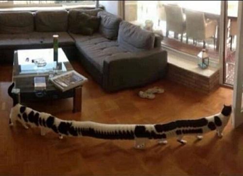 Mèo siêu dài.