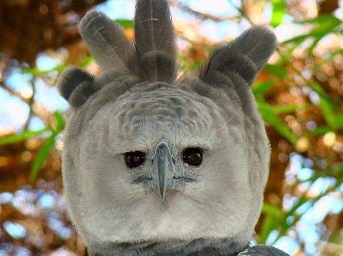 Portrait-of-a-Harpy-Eagle-4920-1520305834