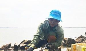 Người dân Huế lật đá, đục hàu sữa trên phá Tam Giang
