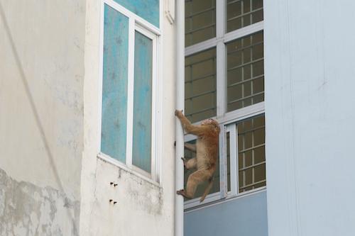 Khu dân cư ở Hà Nội lo lắng vì khỉ hoang quấy phá