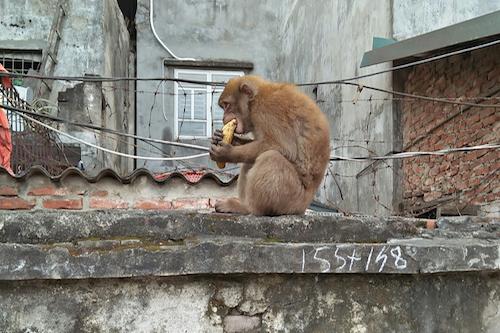 Khu dân cư ở Hà Nội lo lắng vì khỉ hoang quấy phá - 2