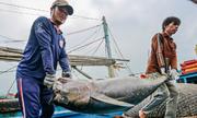 Nghề khai thác cá ngừ đại dương của ngư dân Bình Định