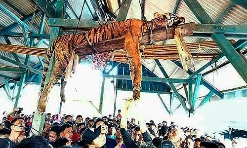 Con hổ Sumatra trả giá đắt khi mò vào làng. Ảnh: AFP.