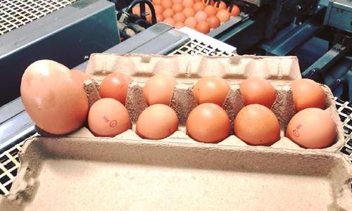 Quả trứng gà có kích thước gấp ba lần các quả trứng khác. Ảnh:Stockmans Eggs.