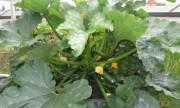 Gia đình Việt trồng hơn 30 loại rau, củ ngoài ban công ở Đức