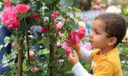 Lễ hội hoa hồng ở kinh đô nước hoa