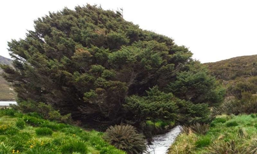 Cây vân sam Sitka trên đảo Campbell. Ảnh: Pavla Fenwick.