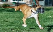 Chú chó 2 chân ở Mỹ khiến triệu người cảm phục