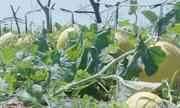 Cách trồng dưa lê vàng nặng trĩu giàn sau 2 tháng