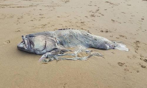 Xác con cá dài gần hai mét dạt vào bãi biển Moore Park. Ảnh: Newsweek.