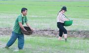Lúa hữu cơ được nhân trồng 200 ha ở Huế
