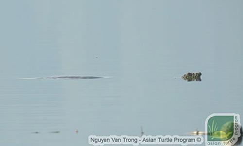 Để chụp được bức ảnh rùa nổi rất khó bởi chúng chỉ nổi lên 2 đến 5 giây. Ảnh: ATP.