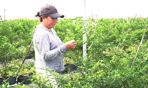 Vườn ớt 3ha trồng theo công nghệ Israel của nông dân Sài Gòn
