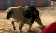 Trẻ em Mỹ trổ tài đua cừu