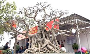3 cây sanh tạo hình giá 30 tỷ đồng ở Hà Nội