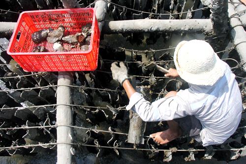 Người dân dùng búa đập bể tấm firo xi măng treo dày trên giàn để lấy hàu. Ảnh: Nguyễn Khoa