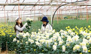 Làng hoa trăm tuổi của người Hà Nội xưa ở Đà Lạt