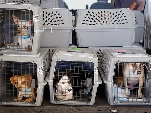 Những chú chó sắpđược chuyển lên khoang hàng hóa của một máy bay. Ảnh: AP