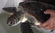 Mua nhầm rùa quý hiếm, người dân Cà Mau thả rùa về biển